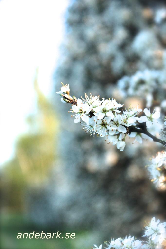 Slånbärsblom