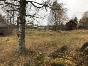 Rester av Gyrisgårdens jordkällare finns under björken