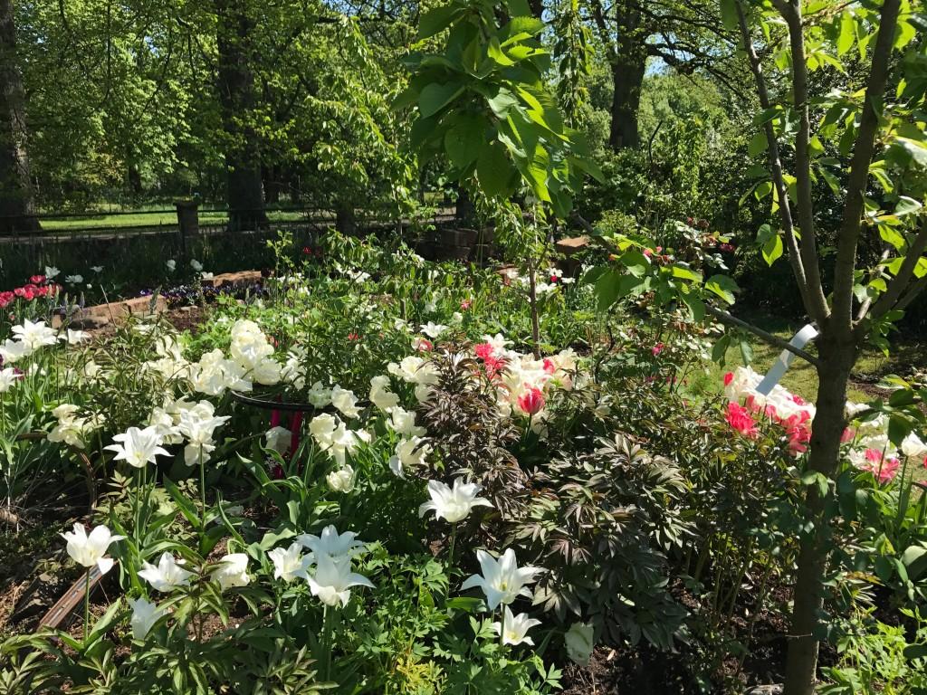 Trés chick heter den vita liljeblommande tulpanen. Foxtrot den dubbla rosa.