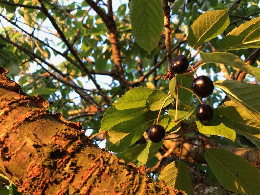 Vildkörsbär eller fågelbär körsbär