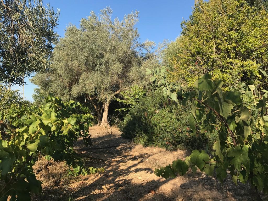 Nedanför de äldre husen låg fruktlunden. På träden hängde spruckna granatäpple och små fikon som inte plockats. Vilken lyxa att få plocka direkt från träden.