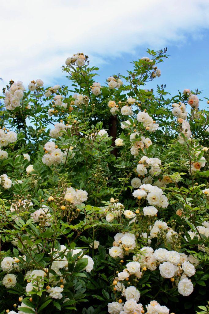 rosenträdgård rosor glisande de feligonde