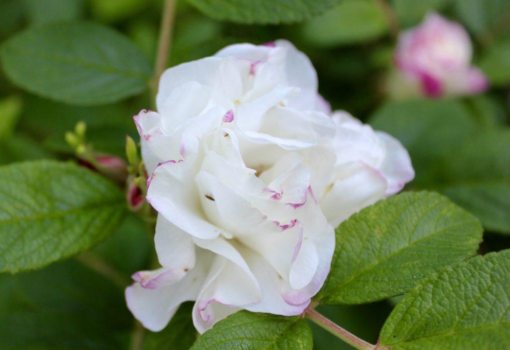 rosegarden rosenträdgård vita rosor Louis Bougnet