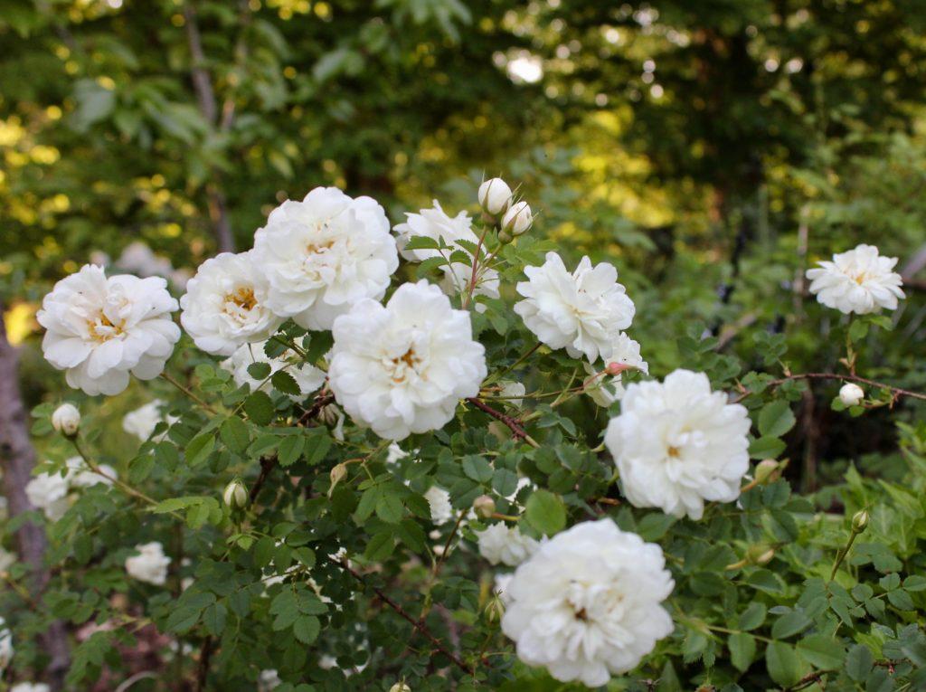 Valdemarsvik vita rosor rosegarden
