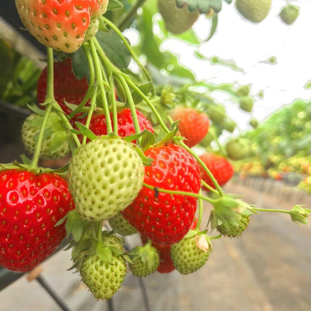 Strawberry Ellagården Kullaberg