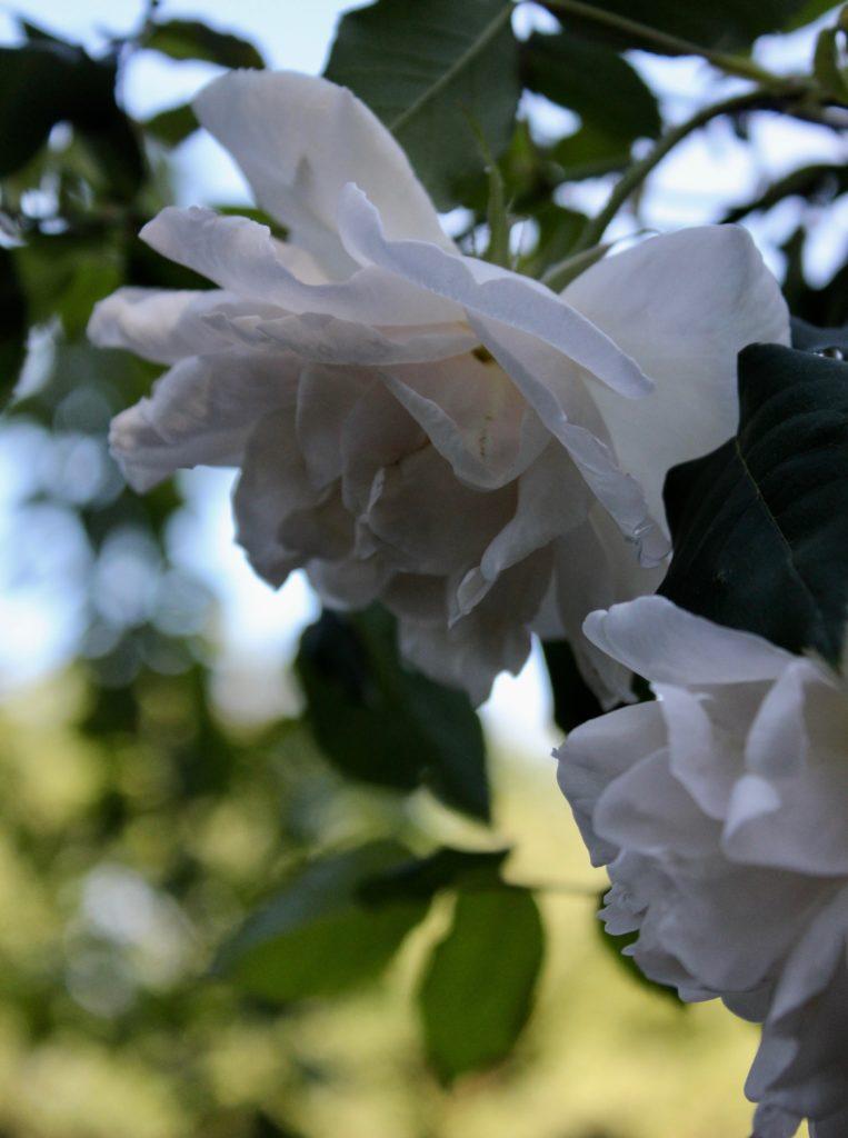 vit ros vita rosor whiteroses