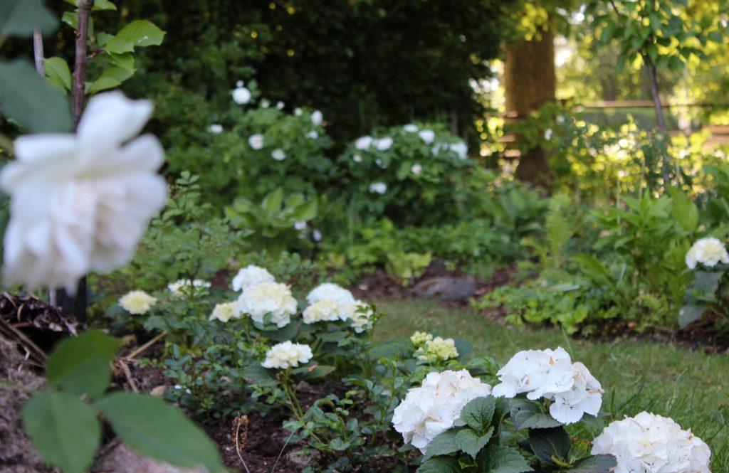 vita rosor vit trädgård rosenträdgård rosegarden