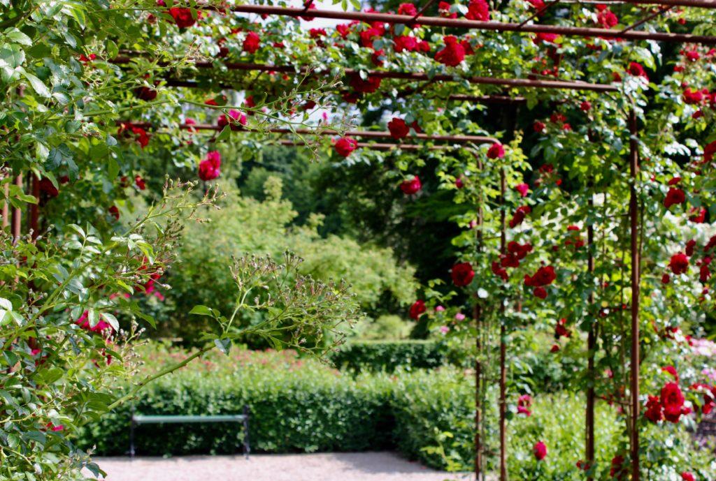 Rosenträdgård ros rosor rose rosen