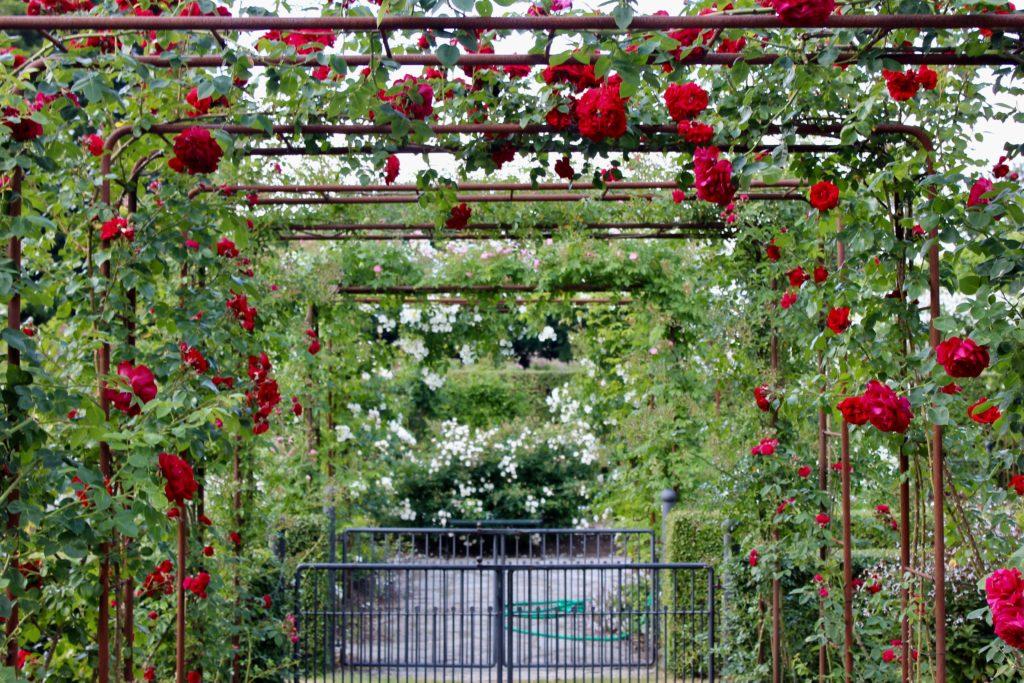 röda rosor ros rosen rosenträdgård rosegarden