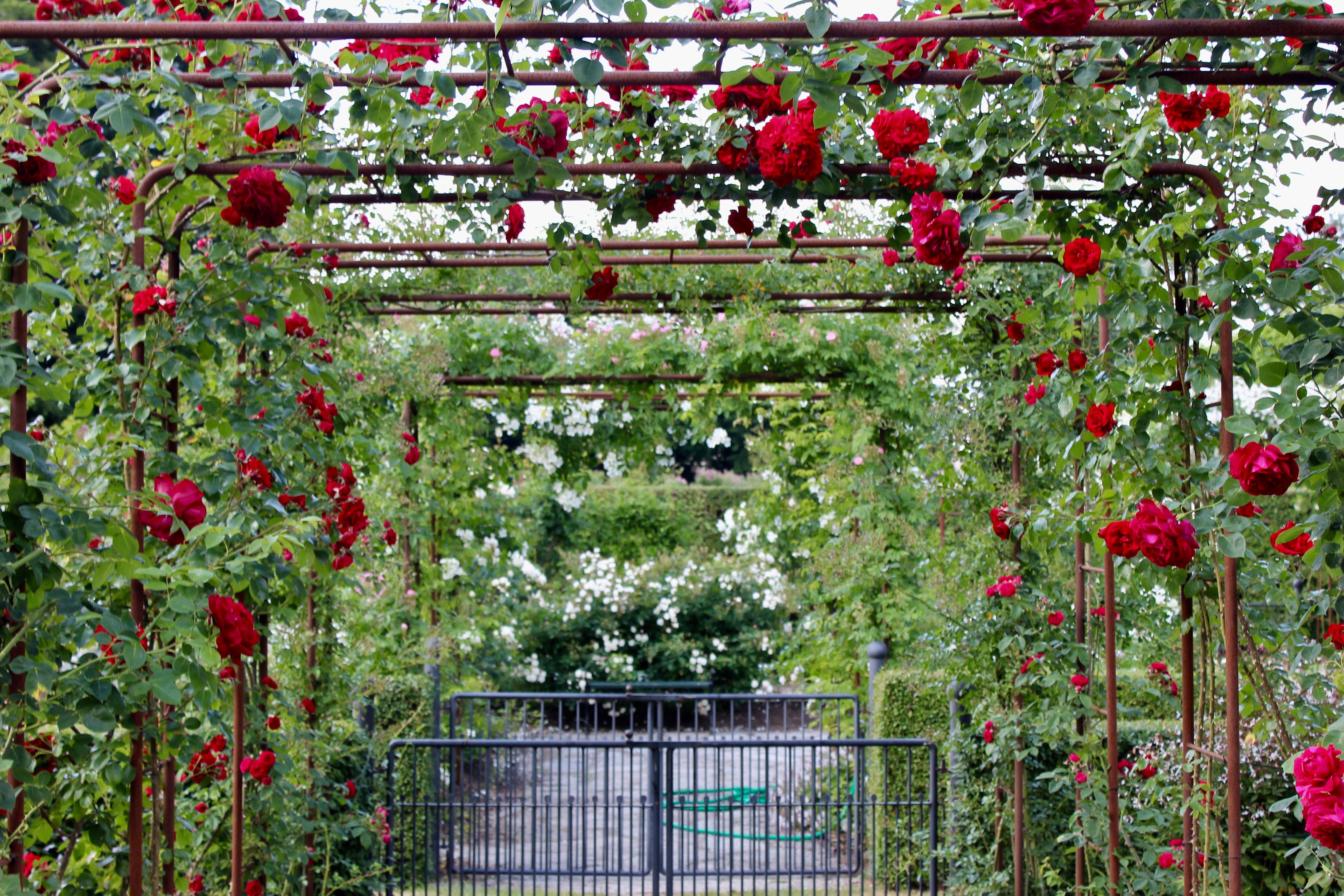 ros rosor rosenpergola Helsingborg