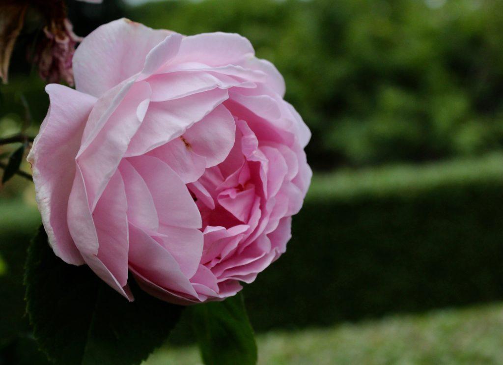 Rosa rosor ros rose pink roses Fredriksdals trädgårdar rosenträdgård rosegarden