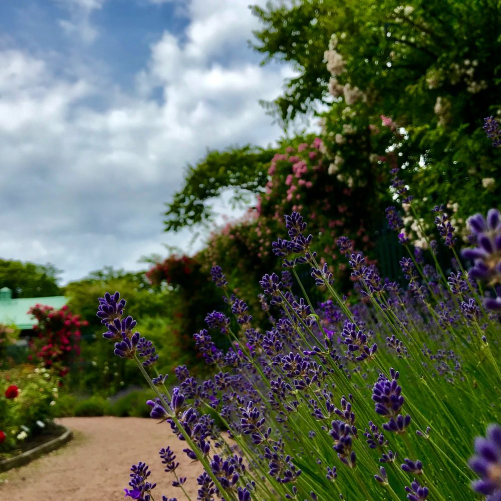 trädgårdsföreningen rosor lavendel