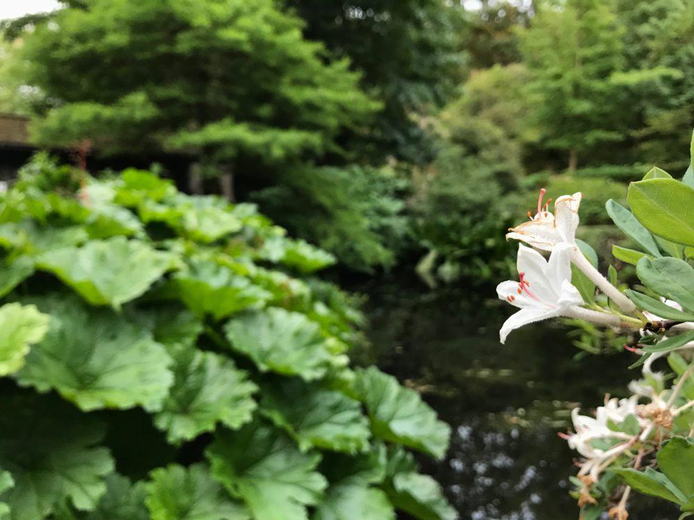 Botaniska trädgården rhododendron