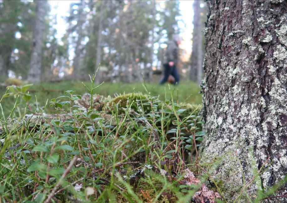 Kantareller i Älvdalen