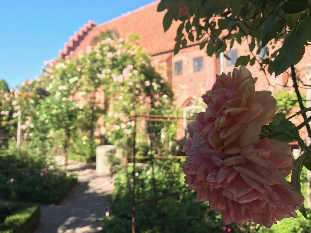 Rosor Ystad ros Klostret Rosarium