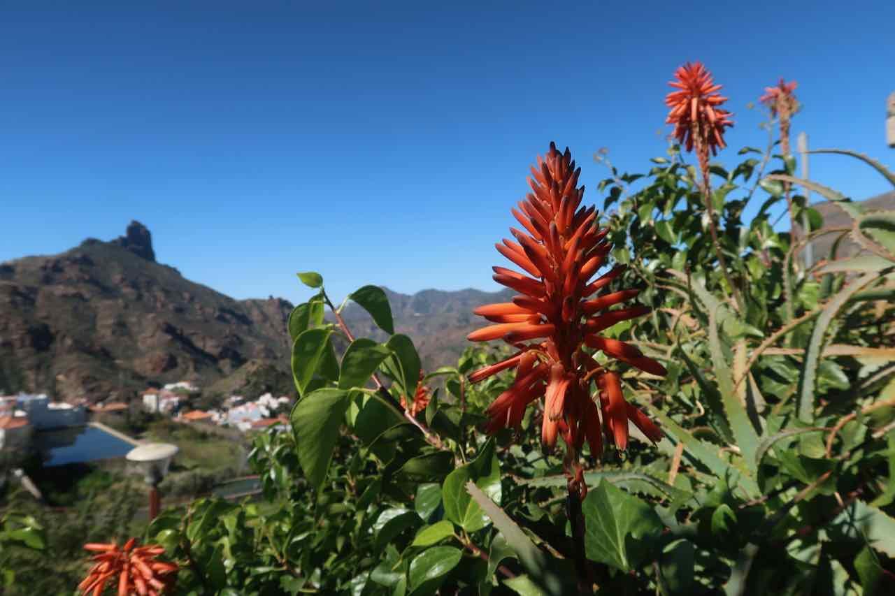 Raketblomma Tejeda Gran Canaria