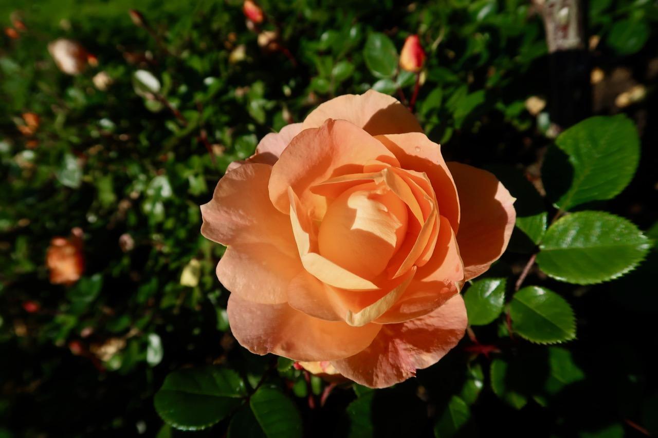 Rosegarden rosor