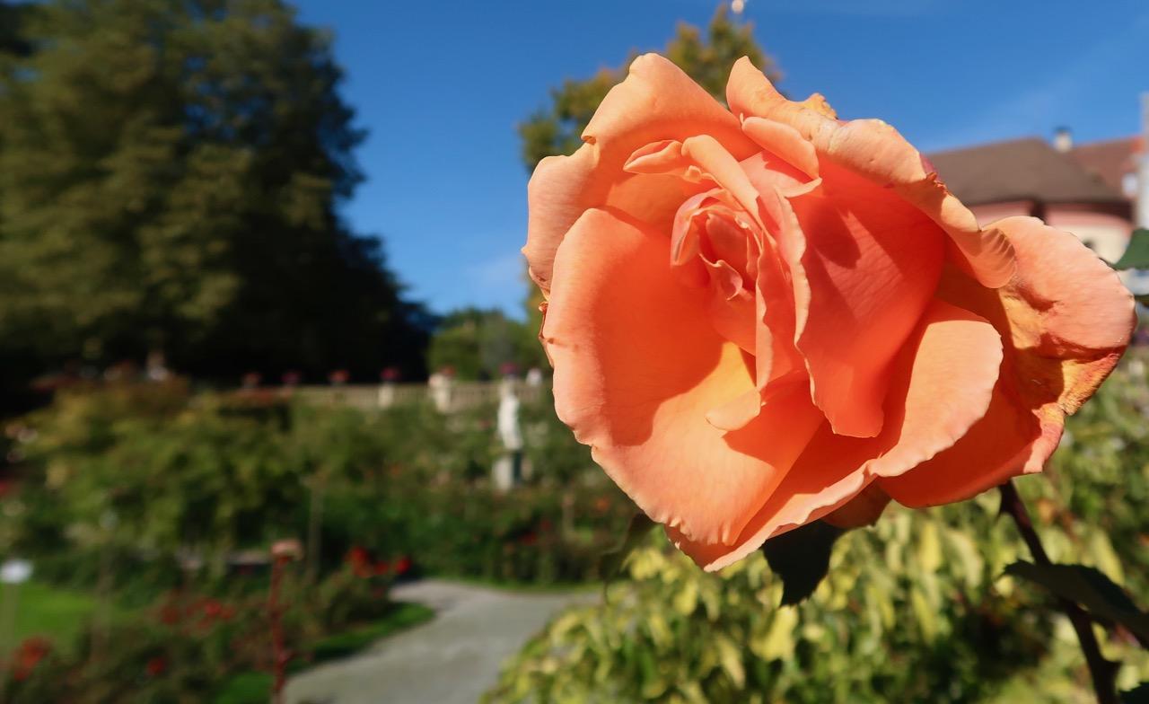 Rosor rosegarden