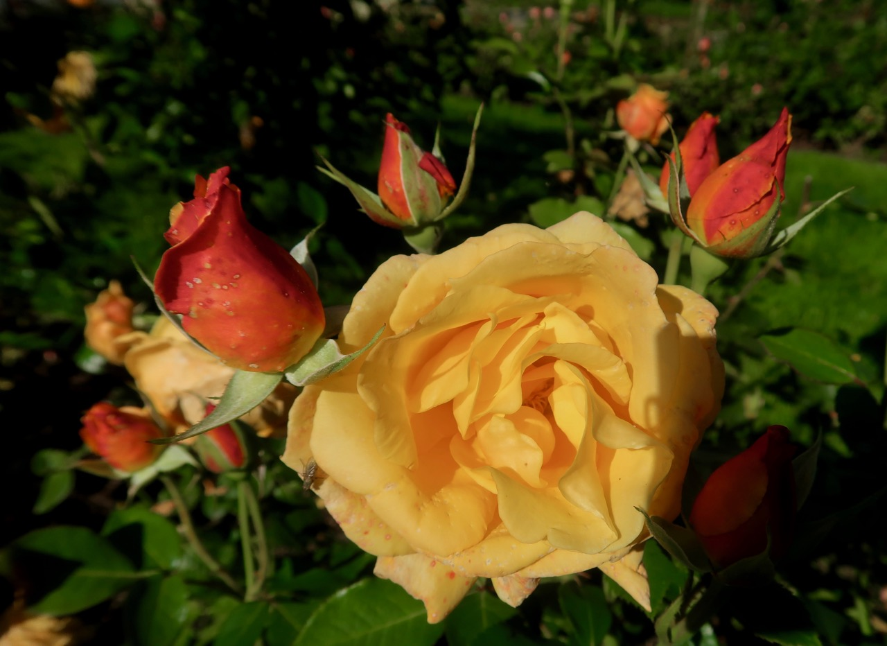 Rose rosor