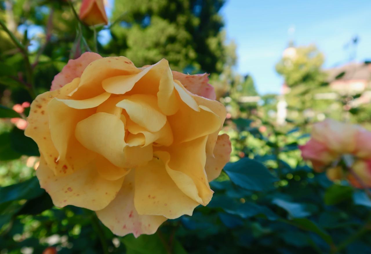 Rosenträdgård rosegarden rosor