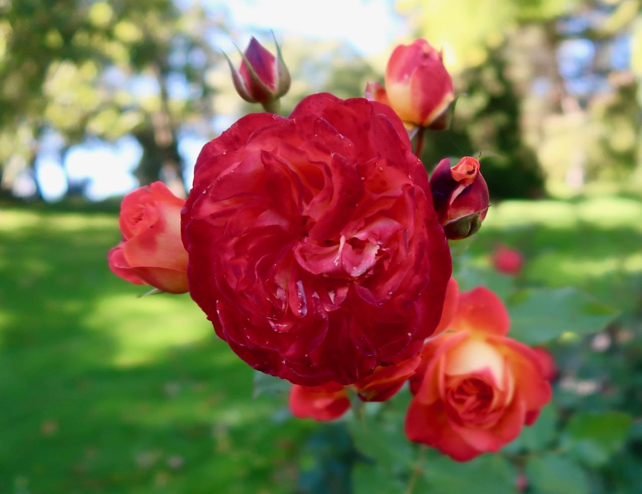 Rosor rosenträdgård