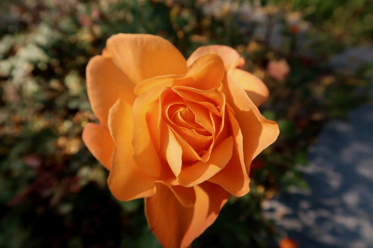 roses rosor Rosenträdgård