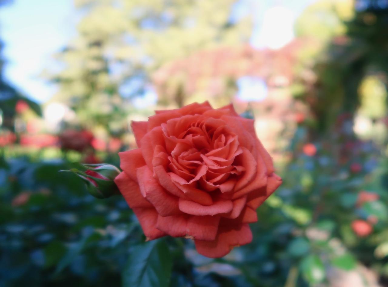 Rosor rosegarden rosenträdgård