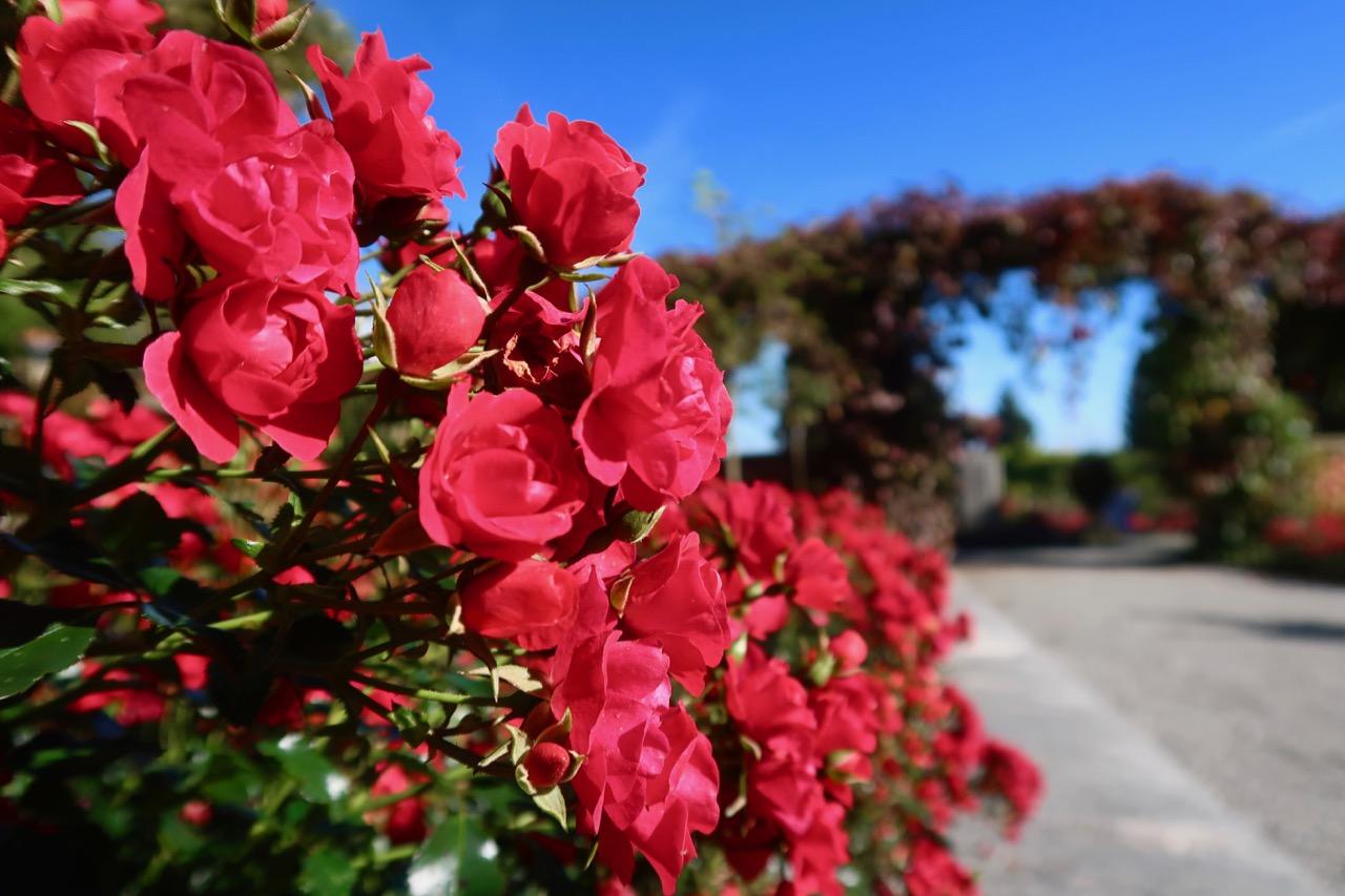 Rosegarden rosarium rosor